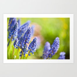 Blue Muscari Mill flowers close-up in the spring Art Print