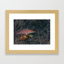 Longnose hawkfish Framed Art Print