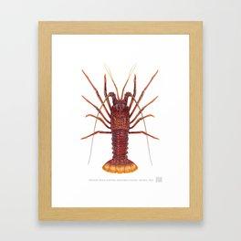 Western Rock Lobster, Panulirus cygnus  George, 1962 Framed Art Print