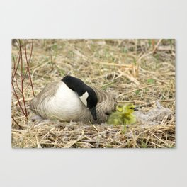 Female Canada Goose Watching Goslings Canvas Print