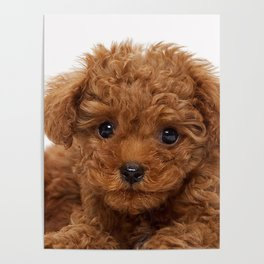 Little Brown Toy Poodle Poster