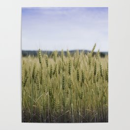 Grain Almost Ready For Harvest Poster