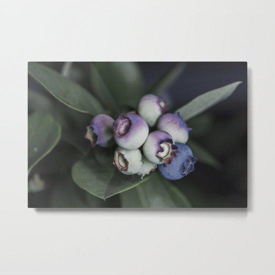 Blueberries ripening Metal Print
