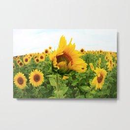 Sonnenblumen 4 Metal Print