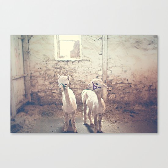 Young Alpacas  Canvas Print