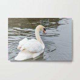 Mute swan swimming Metal Print