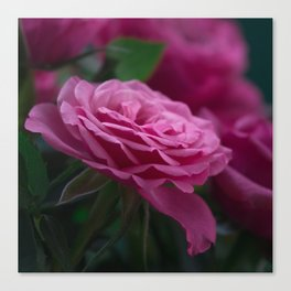 Magnificent Pink Rose Canvas Print