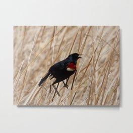 Tri-colored Blackbird Metal Print