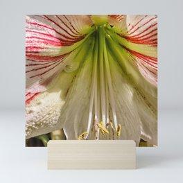 Beautiful amaryllis hippeastrum closeup Mini Art Print