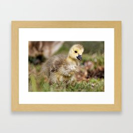 Cute Gosling on the March Framed Art Print