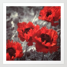 Big Red Watercolor Poppies on Grey Background Art Print