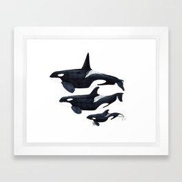 Orca (Orcinus orca) Framed Art Print