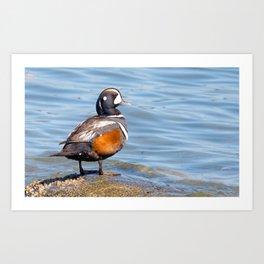 Beautiful Harlequin Duck on the Rocks Art Print