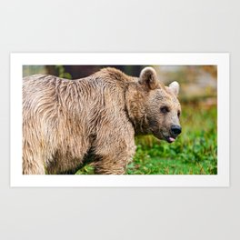 Phenomenal Big Grizzly Bear Woodside With Cute Grimace Close Up Ultra High Pixels Art Print