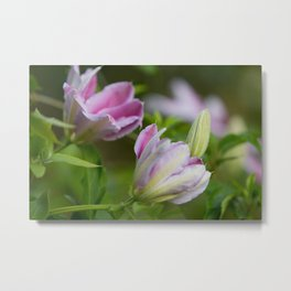 Clematis Purple and White Flower Buds and Bloom Metal Print