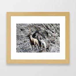 Big Horn Sheep in the Rockies 2 Framed Art Print