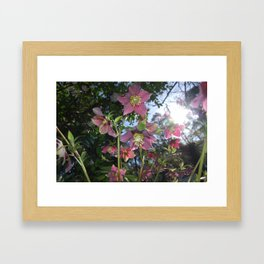 Hellebores in the sun Framed Art Print