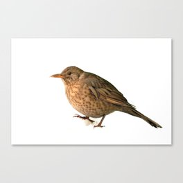 shemale bird blackbird Turdus merula in the snow winter Canvas Print