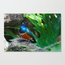 A Stunning African Superb Starling Canvas Print