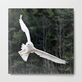 Snowy Owl Landing Metal Print