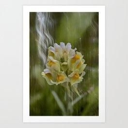 Yellow common Toadflax flower Art Print