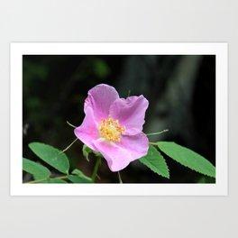Pale Pink Wild Rose Art Print
