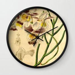 Papilionanthe teres (as syn. Vanda teres) Wall Clock