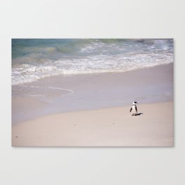 Lone African Penguin on Cape Town beach Canvas Print