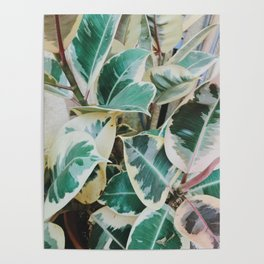 Verigated Rubber Plant Poster