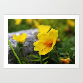 Yellow Buttercup Flower Art Print