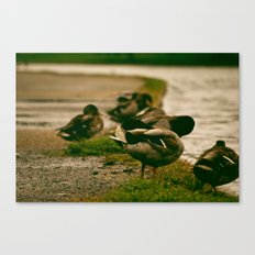 Duck Shy Canvas Print