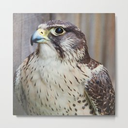 Hawk Photography | Wildlife | Birds Metal Print
