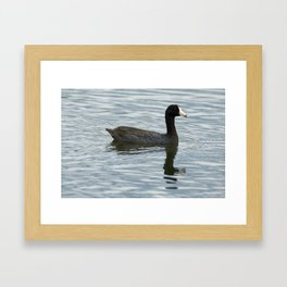 American Coot Reflecting on the Water - Photography Framed Art Print