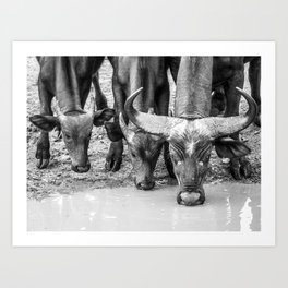 Family of Buffaloes Drinking Art Print