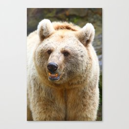 Syrian Brown Bear Canvas Print