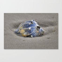 Sandy Whelk  Canvas Print