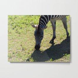 Zebra Munching Metal Print