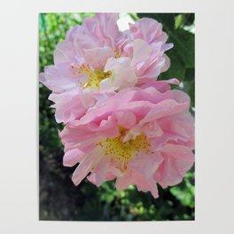Celestial Antique Rose Poster