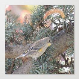 Audubon's Warbler on a Spruce Branch Canvas Print