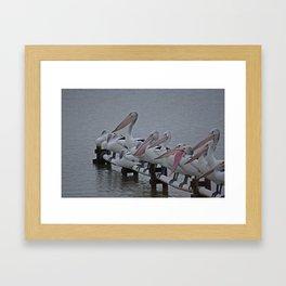 Pelicans of Meningie Framed Art Print