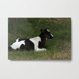 Calf Lying in a Field of Grass Metal Print