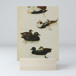 Eider Duck, Velvet Scoter, Common Scoter, Long tailed Duck22 Mini Art Print