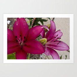 Daylilies - In The Pink Art Print