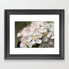 Aronia Blossoms Framed Art Print