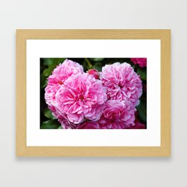 Beautiful pink  Provence rose Framed Art Print
