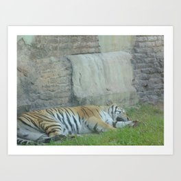 Sleeping Tiger at The Animal Kingdom Art Print