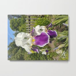 White and violet iris flowers Metal Print
