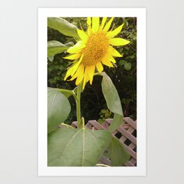 The Surviving Sunflower Art Print
