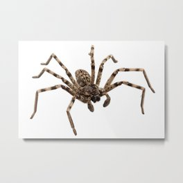 Wolf spider lycosa sp Metal Print