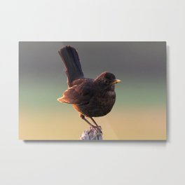 Blackbird on a Wooden Post Metal Print